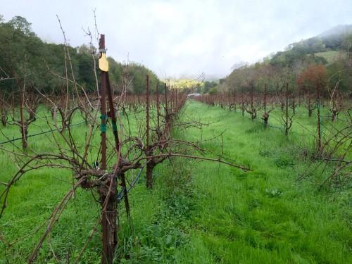 Weinberge der Ravenswood Winery im nördlichen Sonoma Valley