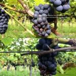 Entwicklungsstadien von Weintrauben mit Befall von Kirschessigfliegen