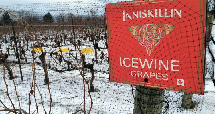 Inniskillin Icewine Grapes
