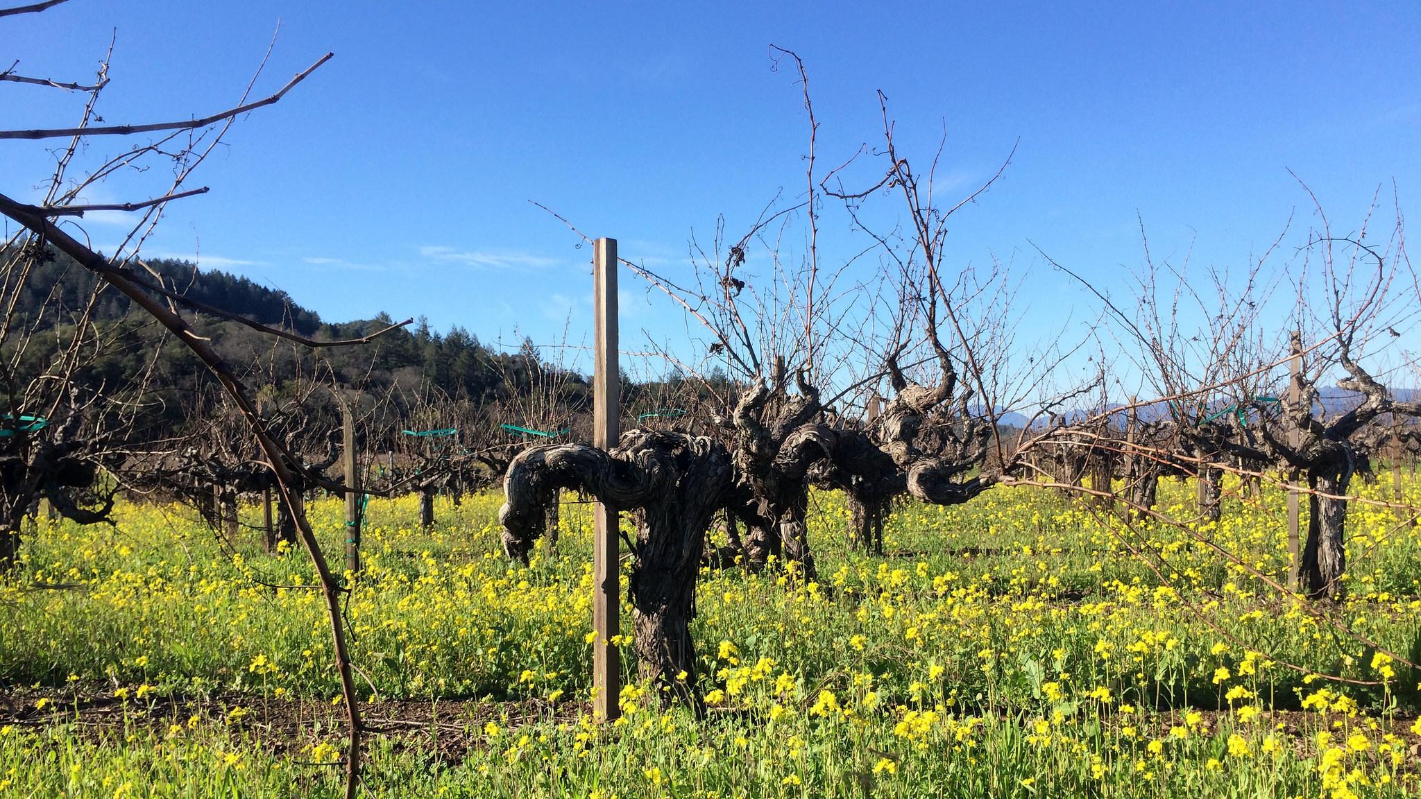 Napa Valley, To Kalon (iBlock) Weinberg der Robert Mondavi Winery, Blick Richtung Mayacamas Mountains